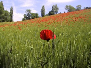 the-poppy-and-the-poppy-field-1376586